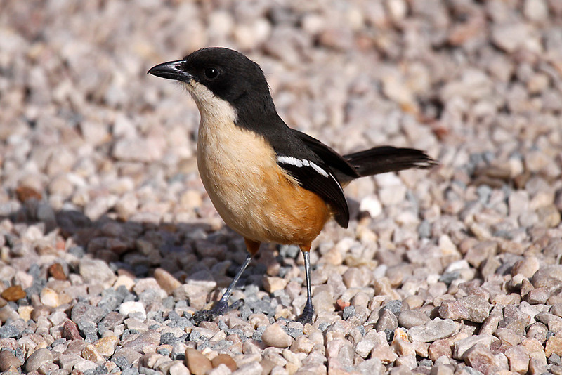 Southern Boubou, De Hoop Nature Reserve.<br /> Aug. 14, 2009<br /> ©Peter Candido All Rights Reserved