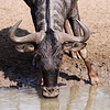 Blue Wildebeest, adult