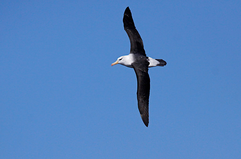 Black-browed Albatross off Cape of Good Hope<br /> Aug. 8, 2009<br /> ©Peter Candido All Rights Reserved