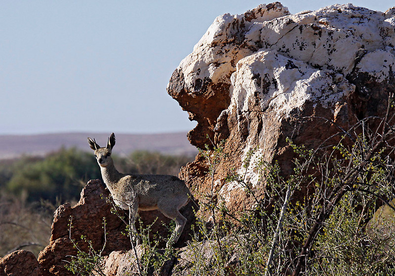 Klipspringer,  Augrabies Falls National Park. A small, agile antelope adapted to rocky hillsides.<br /> Aug. 19, 2009<br /> ©Peter Candido All Rights Reserved