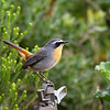 Cape Robin-Chat<br /> Kirstenbosch Botanical Gardens, Cape Town<br /> Aug. 7, 2009<br /> ©Peter Candido All Rights Reserved