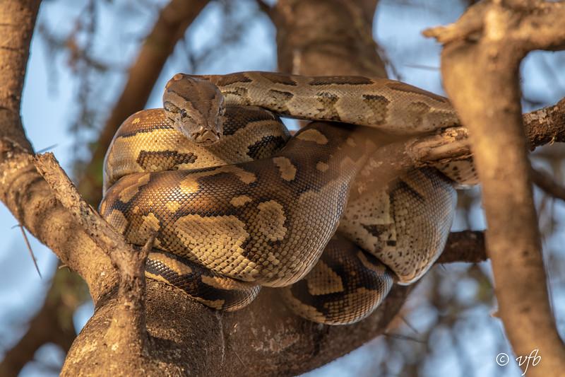 Young Coiled Python
