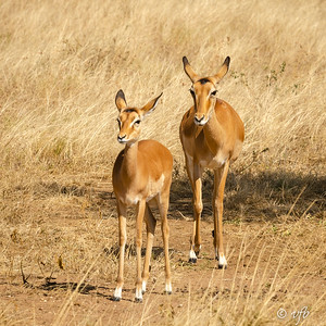 Impala female with youngster
