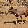 Nyala buck