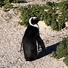 African Penguin, Boulders Beach, Cape Town<br /> Aug. 8, 2009<br /> ©Peter Candido All Rights Reserved