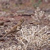 Large-billed Lark, Tanqua Karoo near Ceres<br /> Aug. 11, 2009<br /> ©Peter Candido All Rights Reserved