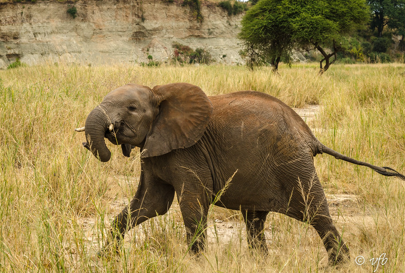 Young Elephant in a Tantrum