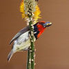 Black-collated Barbet