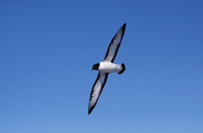 Cape Petrel off Cape of Good Hope<br /> Aug. 8, 2009<br /> ©Peter Candido All Rights Reserved