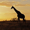 Giraffe at sunset, with Red-billed Oxpeckers on its back