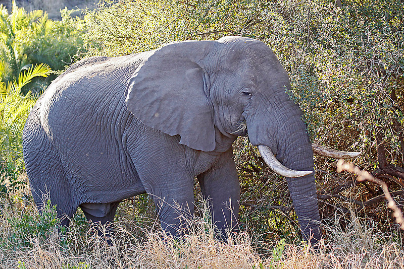 African Elephant bull, feeding on grass