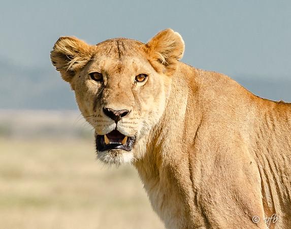 Lioness Close-up