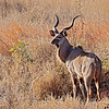 Greater Kudu buck