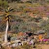 Goegap Nature Reserve near Springbok, Northern Cape.<br /> Aug. 21, 2009<br /> ©Peter Candido All Rights Reserved