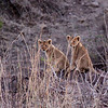 Lion cubs at dusk, probably awaiting return of their mother