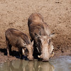 Warthog, female with young