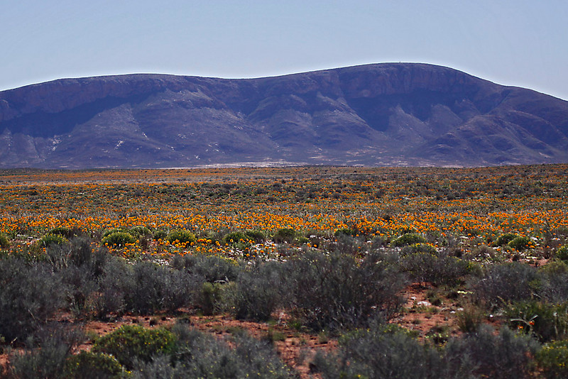 Near Springbok, Northern Cape.  Part of the area known as Namaqualand, world famous for its flower displays after winter rains.<br /> Aug. 21, 2009<br /> ©Peter Candido All Rights Reserved