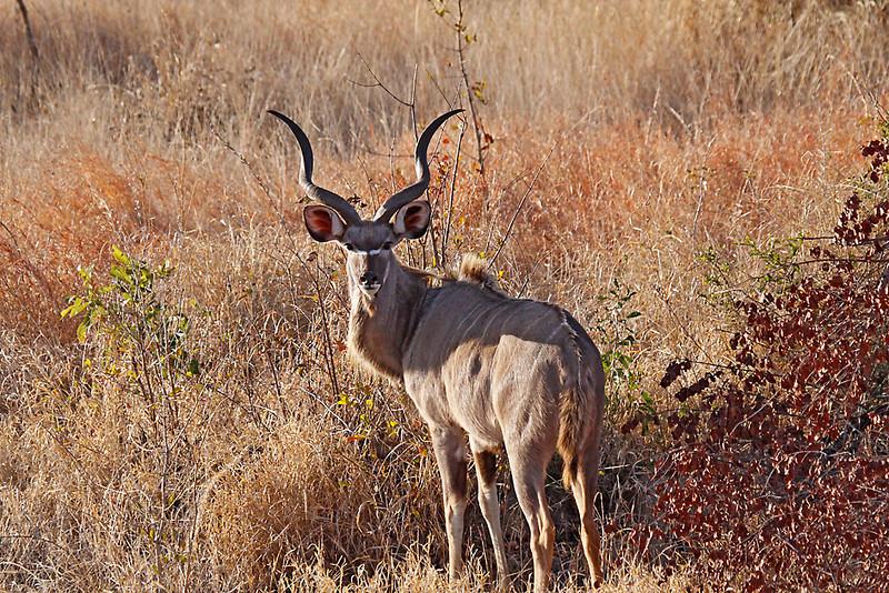 Greater Kudu buck