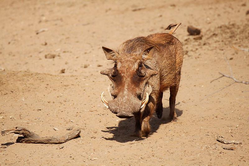 Warthog, male