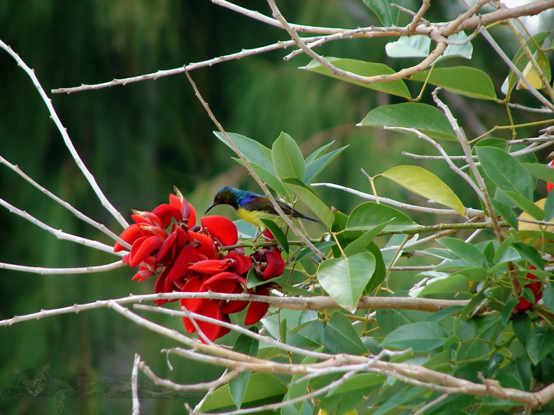 Bird Sipping Nectar - Malaysia