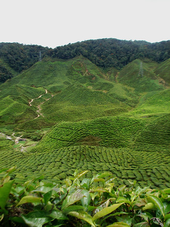 Tea in the Cameron Highlands