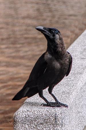 Crow in Malaysia