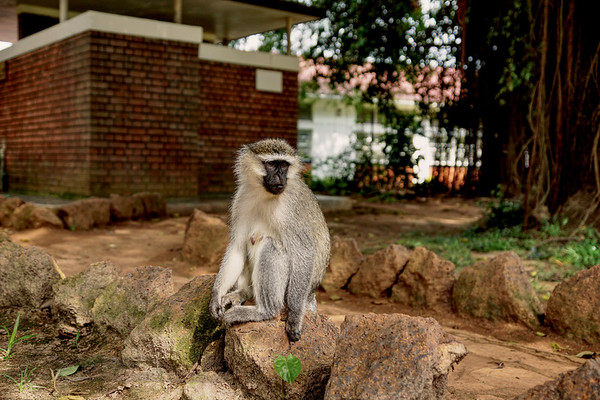 Vervet Monkey at Entebbe Zoo
