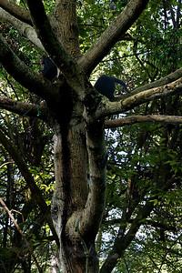 Chimpanzees - UWEC