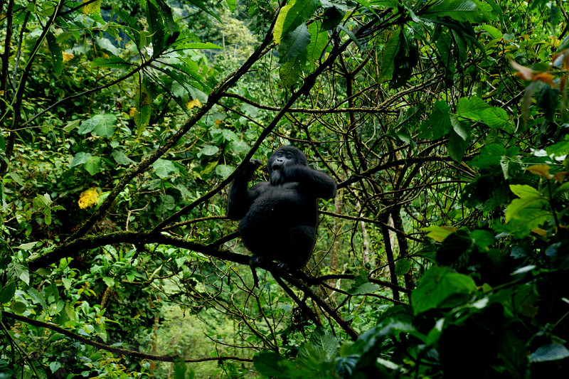 Young Mountain Gorilla in Uganda