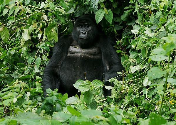Mountain Gorilla in Bwindi Impenetrable ForestUganda