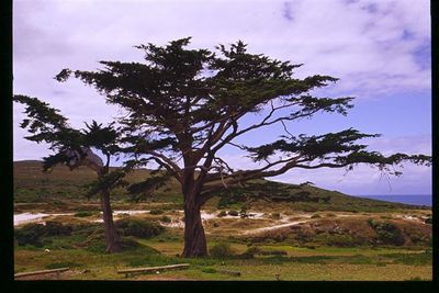 Cape pine in Cape Point National Park