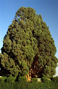 The 4000 year old Cyprus tree in Abarkuh