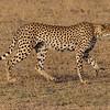 cheetah (72 mph)