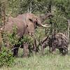 elephants downnig the trees to eat