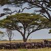 Serenghetti Acacia trees with wildebeasts