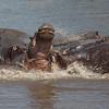 hippo spat