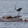 black headed crane on hippo