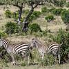 zebras survey the Masai Mara