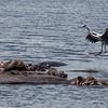 black headed herron landing on hippo