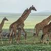 giraffe migration
