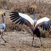grey crested cranes