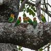 Fischer's lovebirds (parrot)
