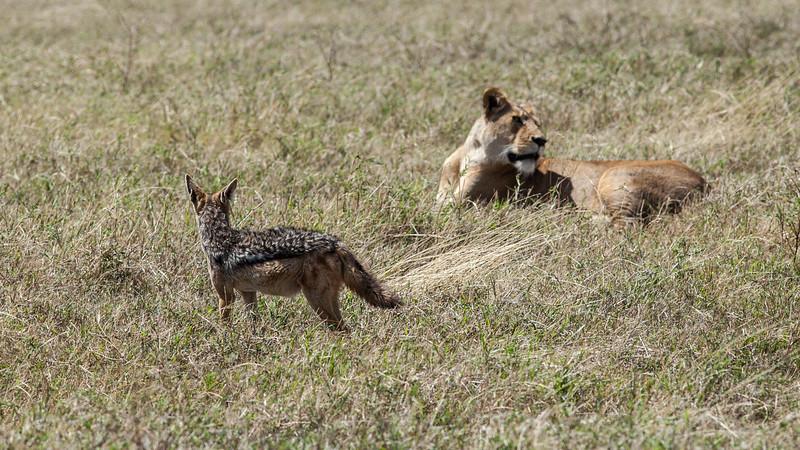black backed jackal waits for lion to abandon his kill