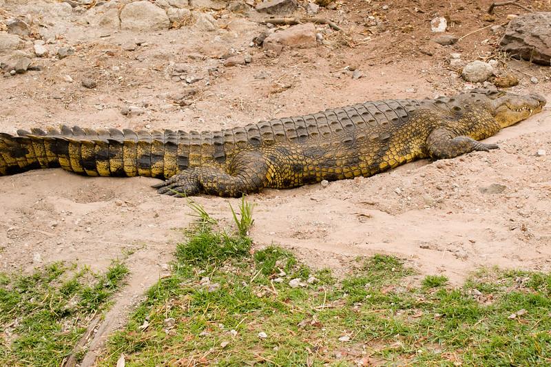 pregnant crocodiles are harmless right?