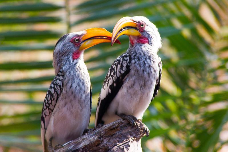 Southern Yellow Billed Hornbill, Botswana