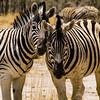 Zebra love, Namibia
