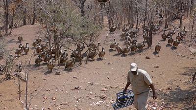 Zimbabwe Vultures