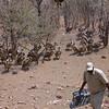 Zimbabwe Vulture Feeding