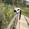 Getting close to a black and white ruffed lemur