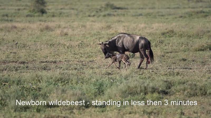 Wildebeest gives birth